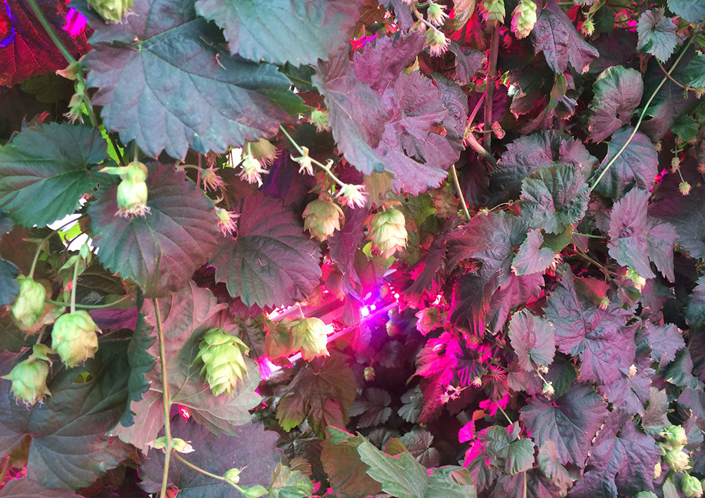 Hops grown under LED lights