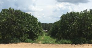 Healthy Citrus groves