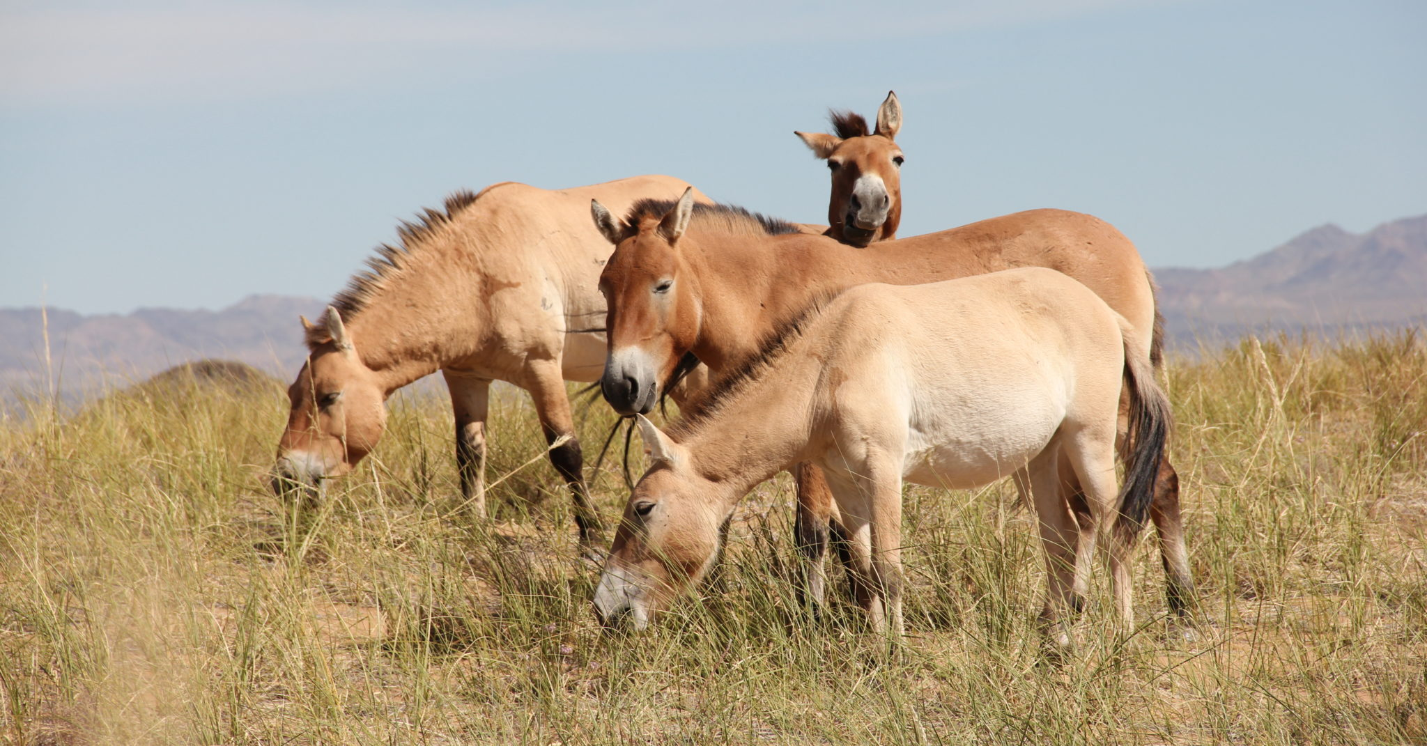 A group of Przewalski's horses eating on a range