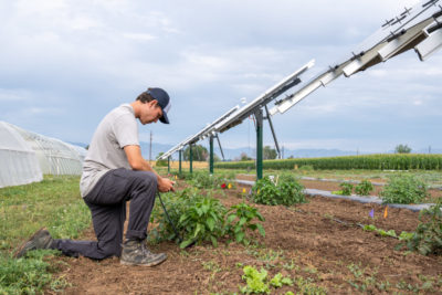 researchers kneels over crop under solar panel