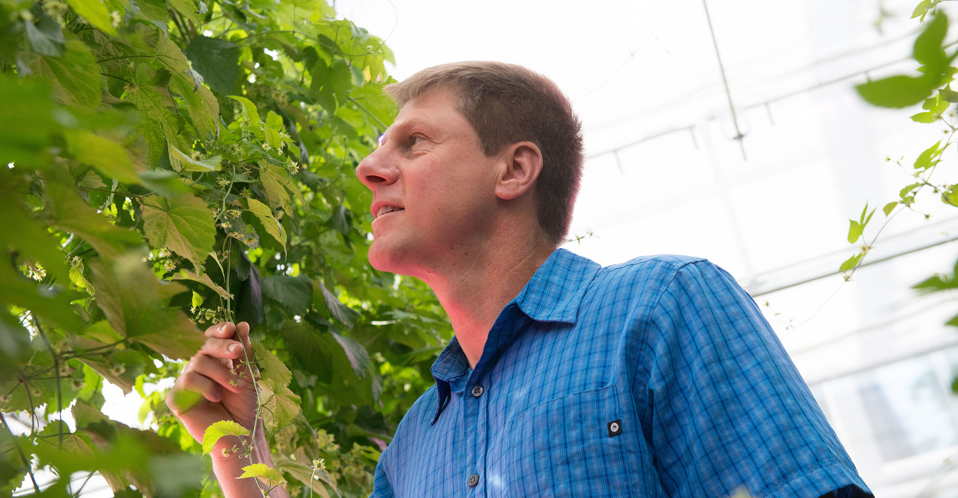 bill bauerle in greenhouse with hop plants